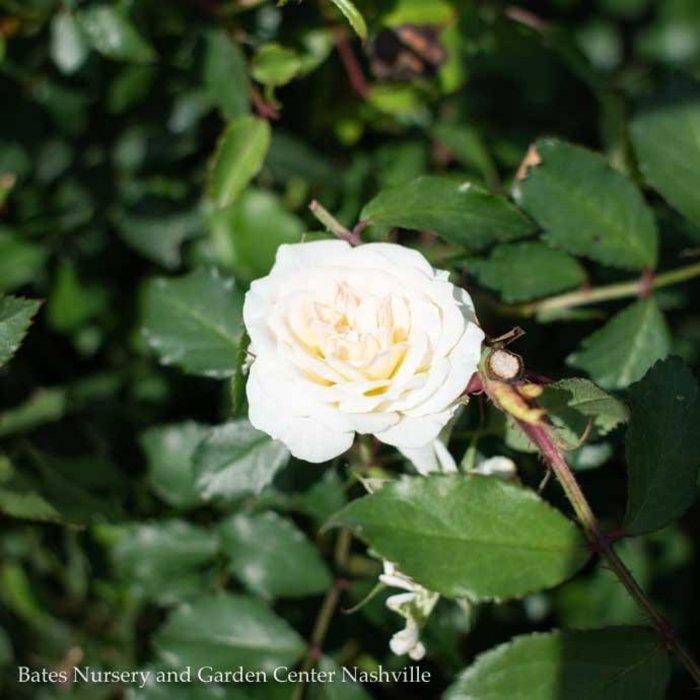 #2 Rosa White Drift/Rose Shrub NO WARRANTY
