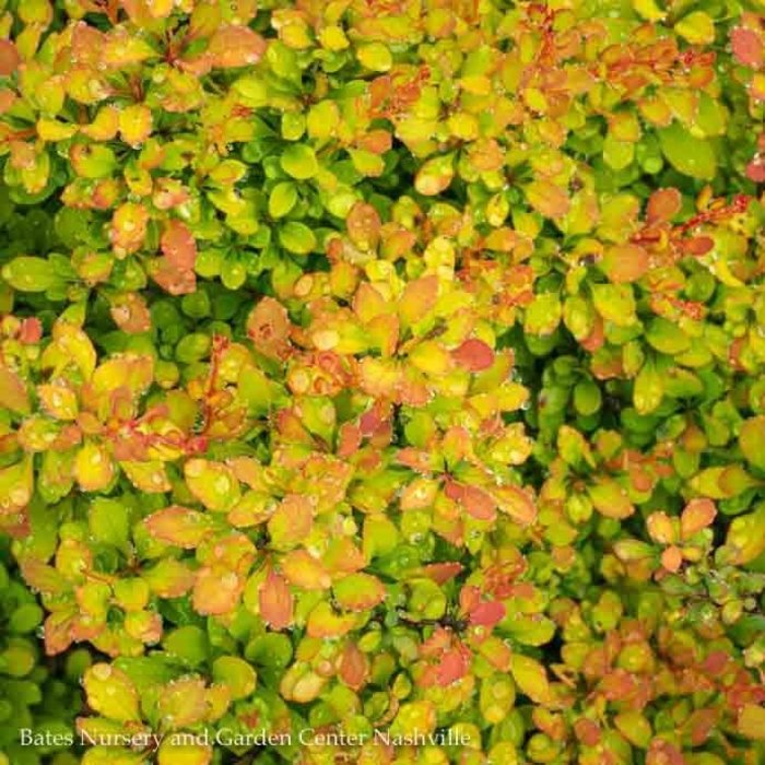 #1 Berberis thun Sunsation/Barberry Compact Golden