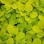 #2 Cotinus cogg Ancot/Golden Spirit Smoketree