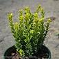 #1 Buxus sinica var. insularis 'Wee Willie'/Dwarf Boxwood