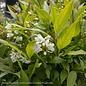 #3 Deutzia gracilis 'Nikko'/Dwarf Double White