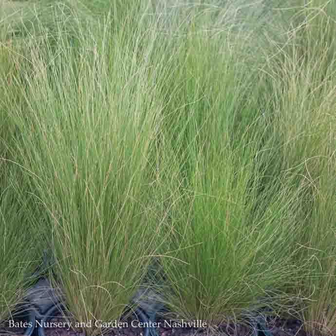 #1 Grass Nassella tenuissima/Stipa Mexican Feather NO WARRANTY
