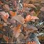 #2s Physocarpus Ginger Wine/Ninebark