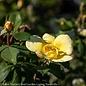 #1 Rosa Knock Out Sunny/Yellow Shrub Rose NO WARRANTY
