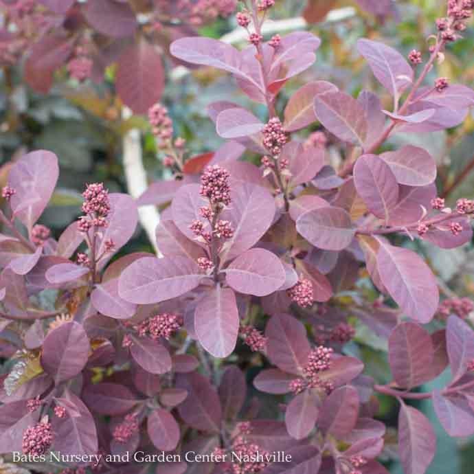 #5 Cotinus cogg Royal Purple/Smoketree