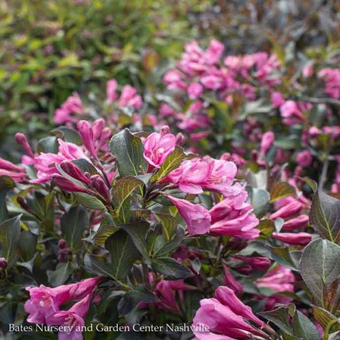#1 Weigela Coco Krunch/Compact