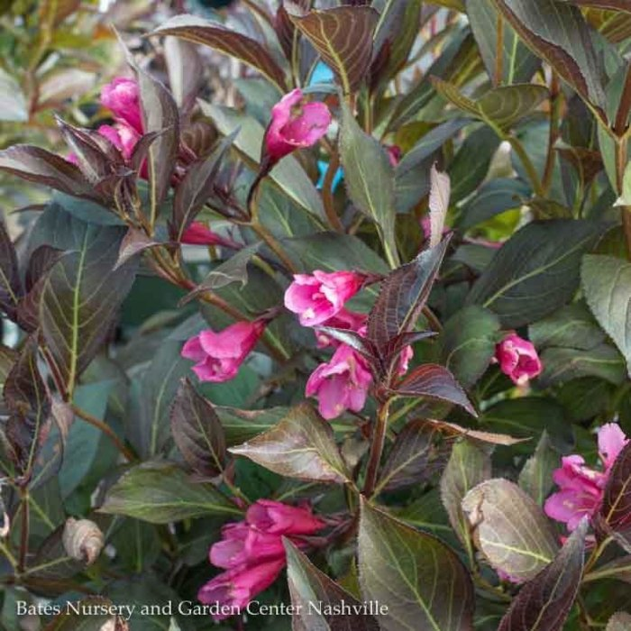 #3 Weigela Plum Rich/Pink