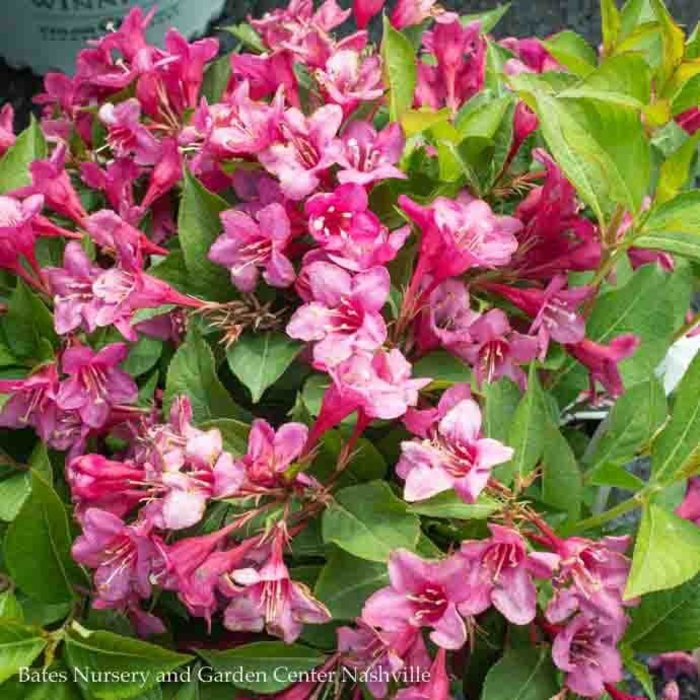 #2 Weigela Sonic Bloom Pink/reblooms