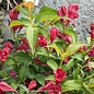 #3 Weigela Sonic Bloom Red/Repeat
