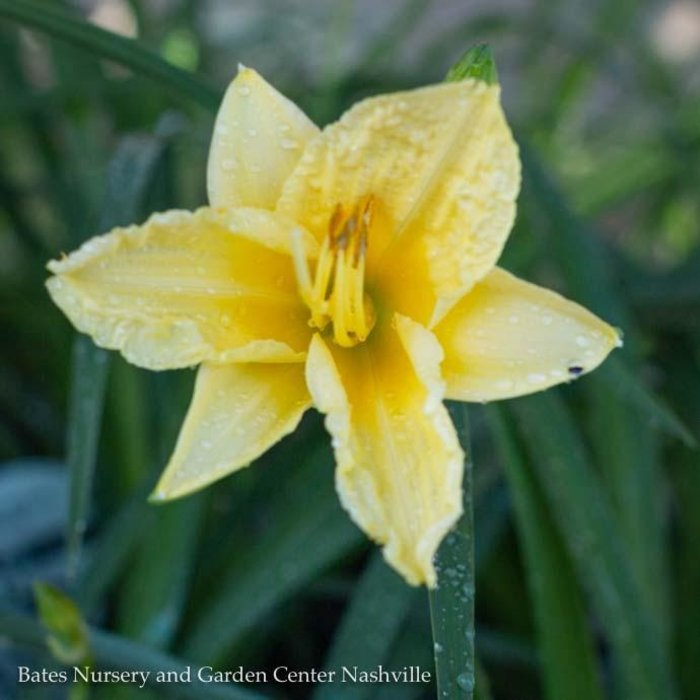 #1 Hemerocallis Happy Returns/Yellow Repeat Daylily