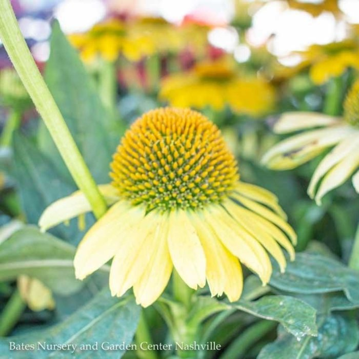 #1 Echinacea Sombrero Lemon Yellow/Coneflower