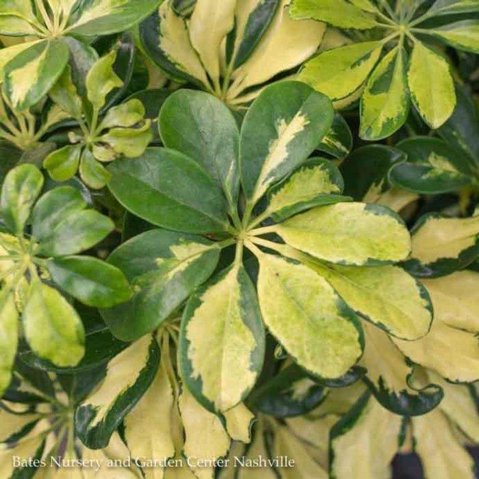 10p! Schefflera Arboricola Variegated Bush /Tropical