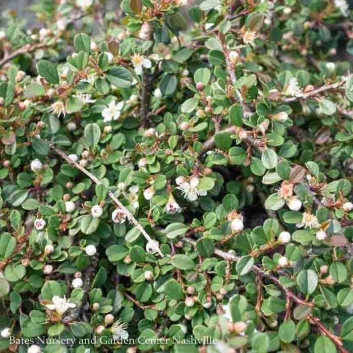 #1 Cotoneaster dammeri Streibs Findling