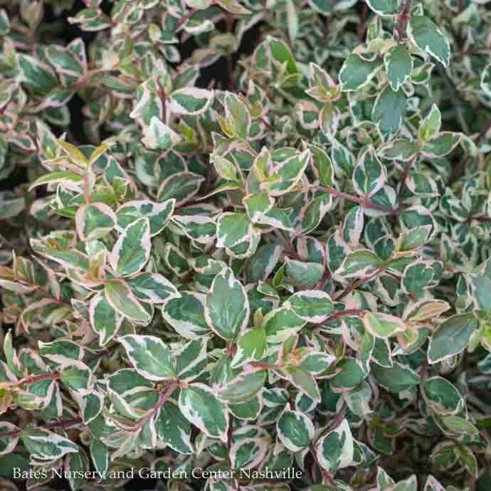 #1 Abelia x grand Magic Daydream/Variegated