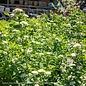 #5 Cornus sericea Flaviramea/Yellow Twig Dogwood