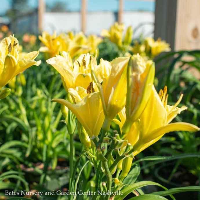 #1 Hemerocallis Endlesslily Yellow/Daylily