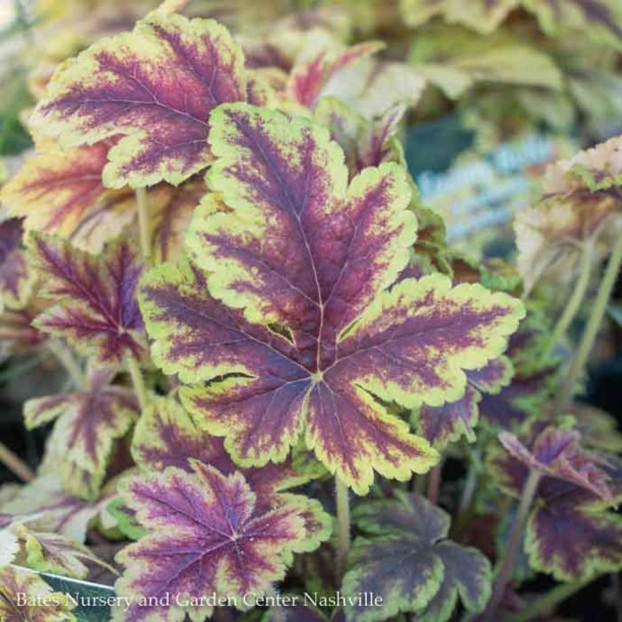 #1 Heucherella Gold Zebra/Foamy Bells