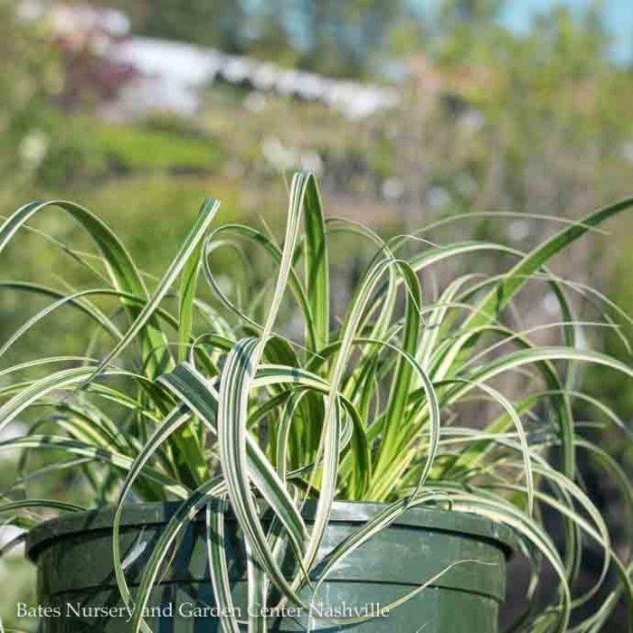 #1 Grass Carex Feather Falls/Sedge