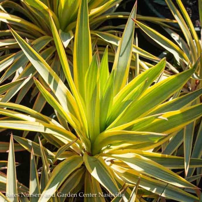 #2 Yucca gloriosa var. Bright Star/Variegated