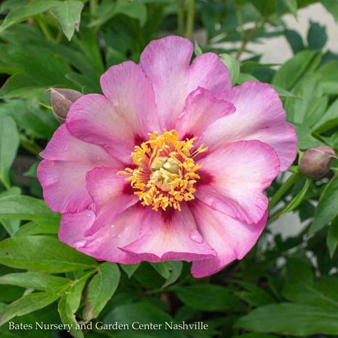 #5 Paeonia Itoh Takara/Hybrid Tree Peony Single Lavender-Pink