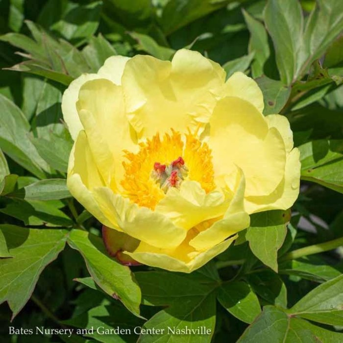 Paeonia Peony Bates Nursery And Garden Center Nashville Tn