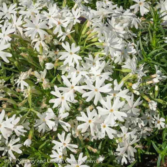 QP Phlox s. Snowflake/Creeping White