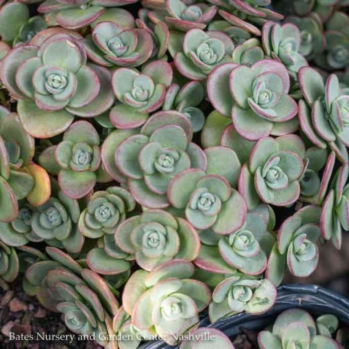#1 Sedum SunSparkler Lime Zinger