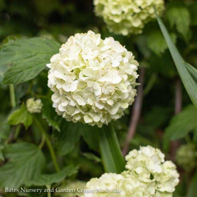 #3 Viburnum opulus Sterile/Old Fashioned Eastern Snowball