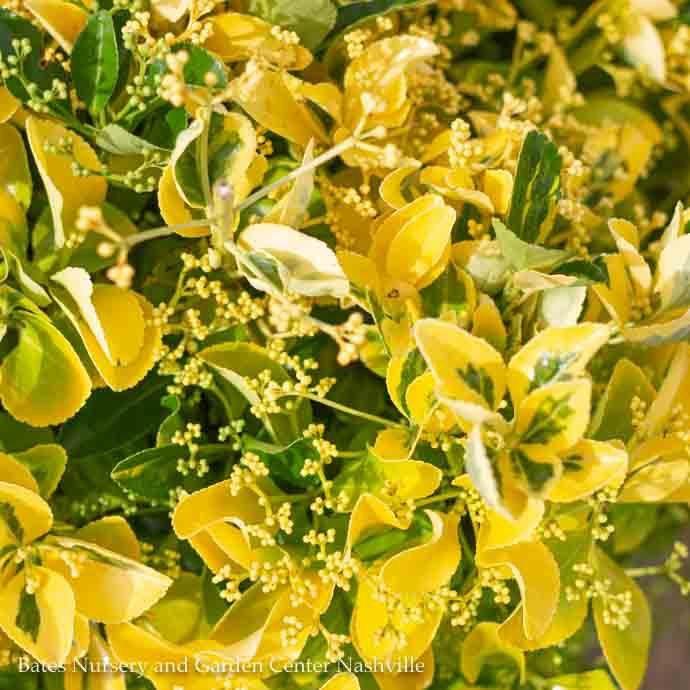 #2 Euonymus j Aureo Marginatus/Golden