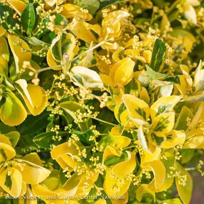 #1 Euonymus j Aureo Marginatus/Golden