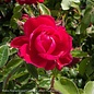 #2 Rosa Grace N' Grit Pink/Shrub Rose NO WARRANTY