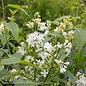 #2 Syringa Angel White/Lilac