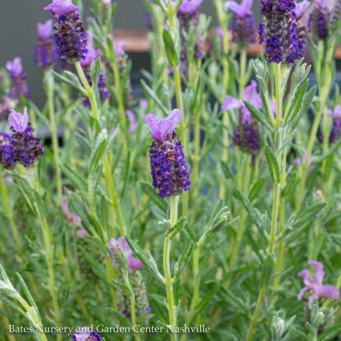 QP Lavender Javelin Fort Deep Purple/No Warranty