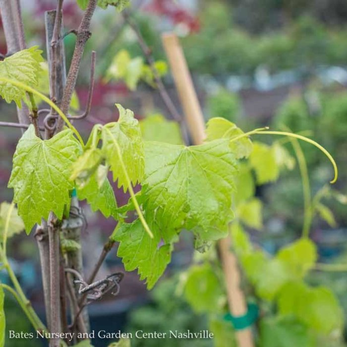 Edible #2 Vitis rotundifolia Scuppernong/Muscadine Grape