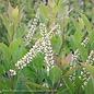 8P Itea virginica Little Henry/Virginia Sweetspire Dwarf