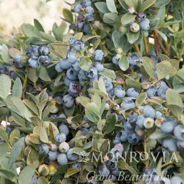Edible Patio Pot Vaccinium cory Bountiful Blue/Highbush Blueberry