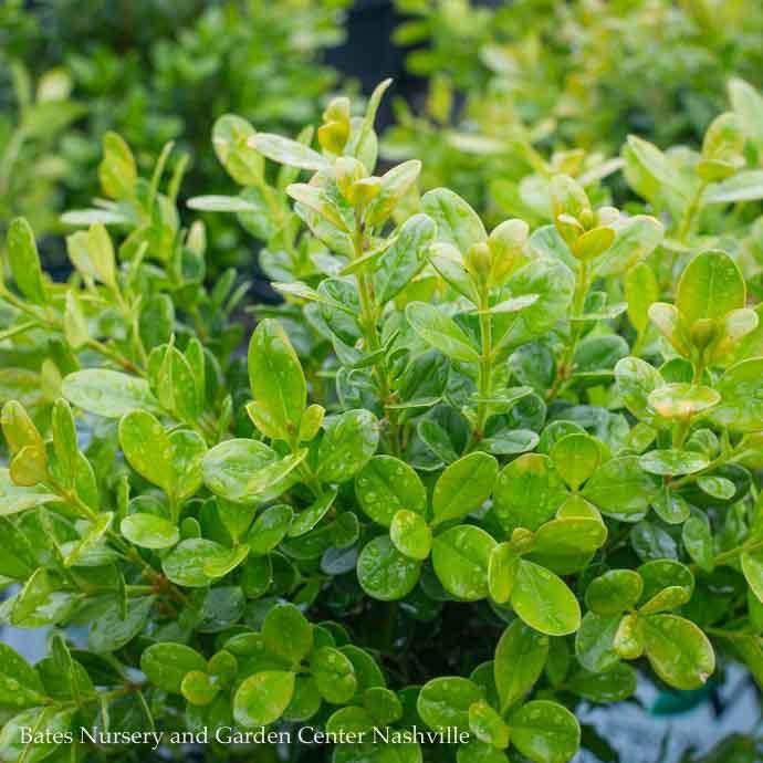 #2 Buxus microphylla Sprinter®/Compact Boxwood