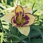 #1 Hemerocallis Blazing Skye/Daylily