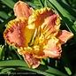 #1 Hemerocallis Titan Skye/Daylily