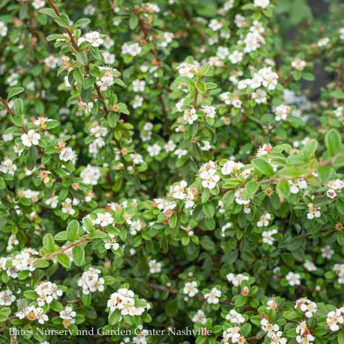 #3 Cotoneaster dammeri Coral Beauty