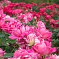 #3 Rosa Knock Out Double Pink/Shrub Rose NO WARRANTY