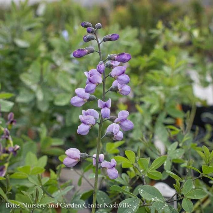 #1 Baptisia Purple Smoke/False Indigo