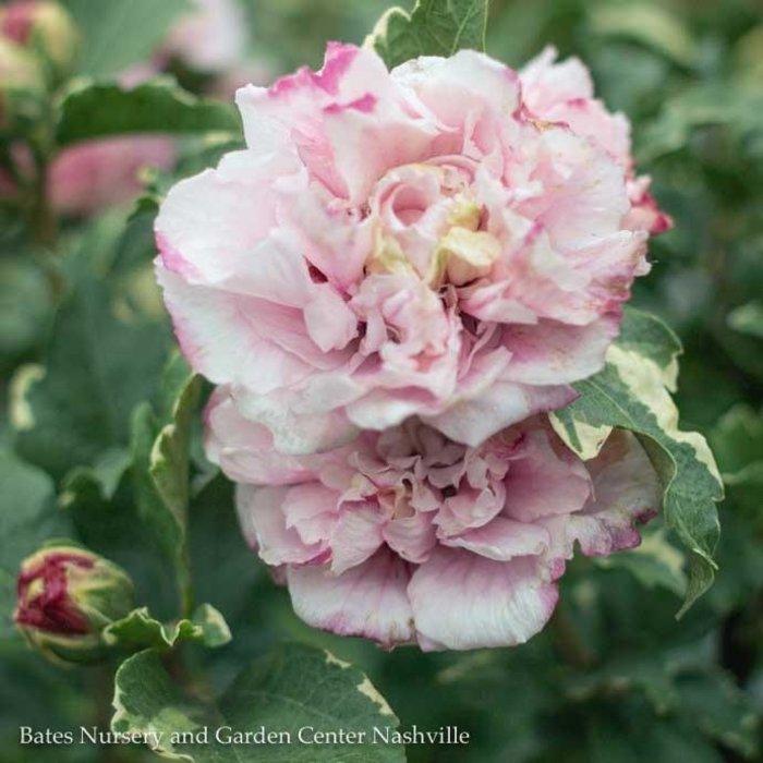 Patio Tree #7 Hibiscus syr Sugar Tip/Rose Of Sharon/Althea