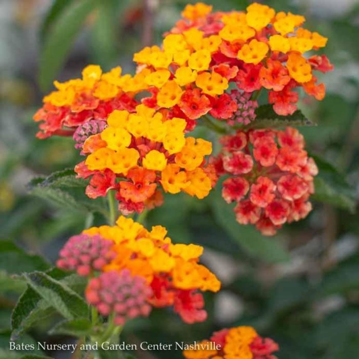 Tropical #3 Patio Tree Lantana Tangerine NO WARRANTY