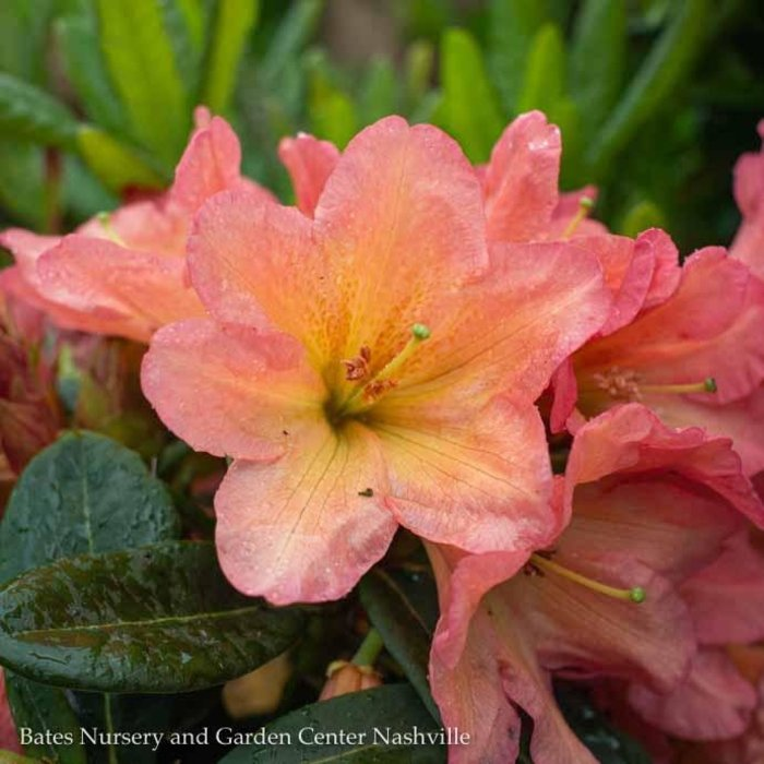 #2 Rhododendron x 'September Song' NO WARRANTY