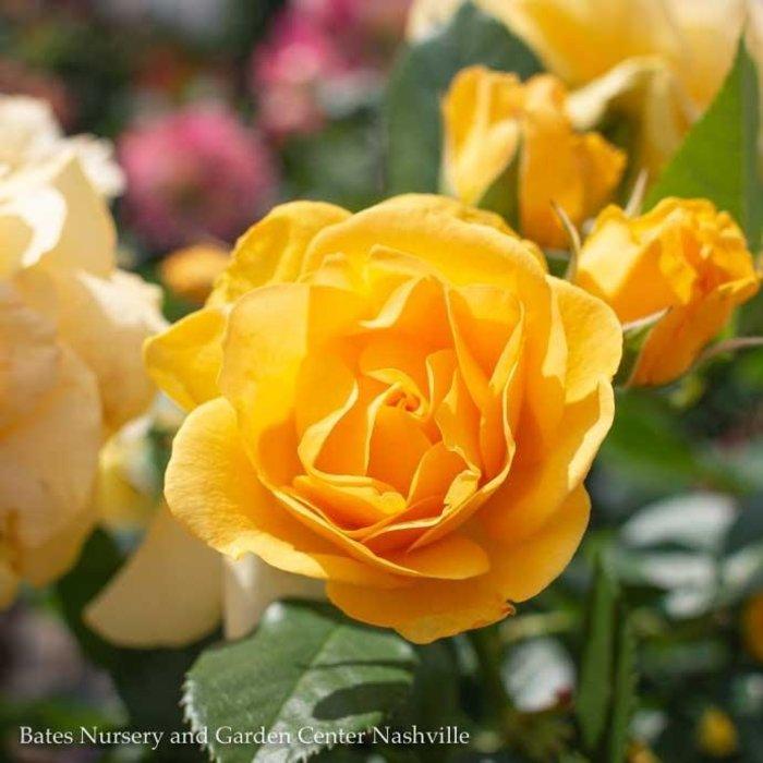 #3 Rosa Julia Child/Yellow Floribunda Rose  No Warranty