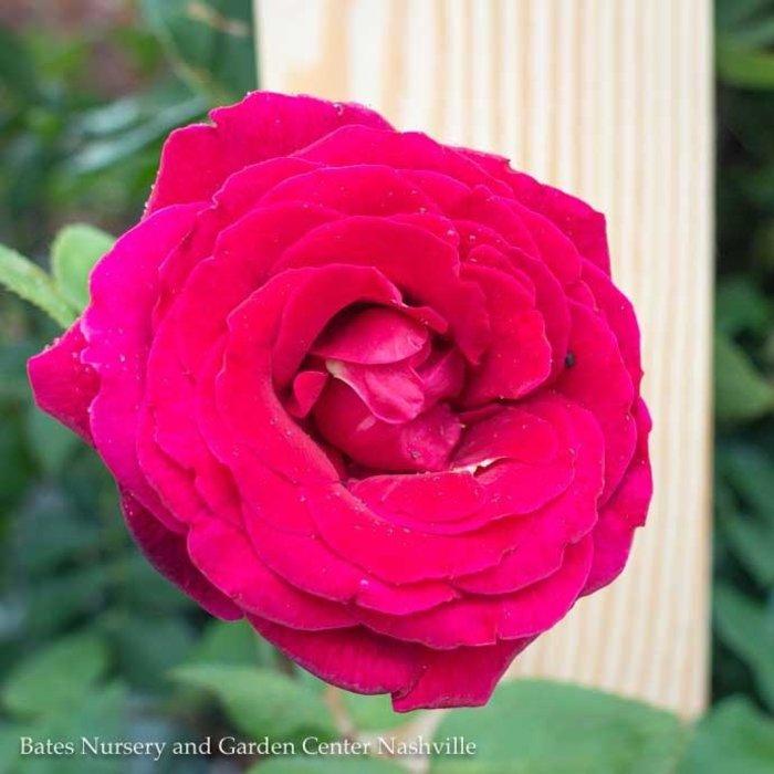 """#5 36"""" PT Rosa Mister Lincoln/Hybrid Tea Rose Red NO WARRANTY"""