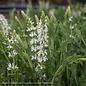 #1 Salvia Snow Hill/White