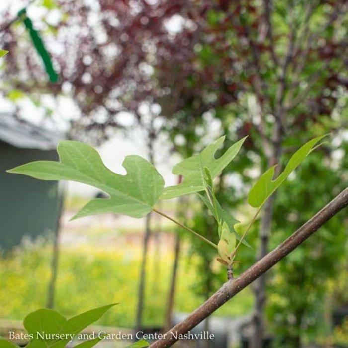 """#25 Liriodendron tulipifera/Tulip Poplar 2"""" caliper"""
