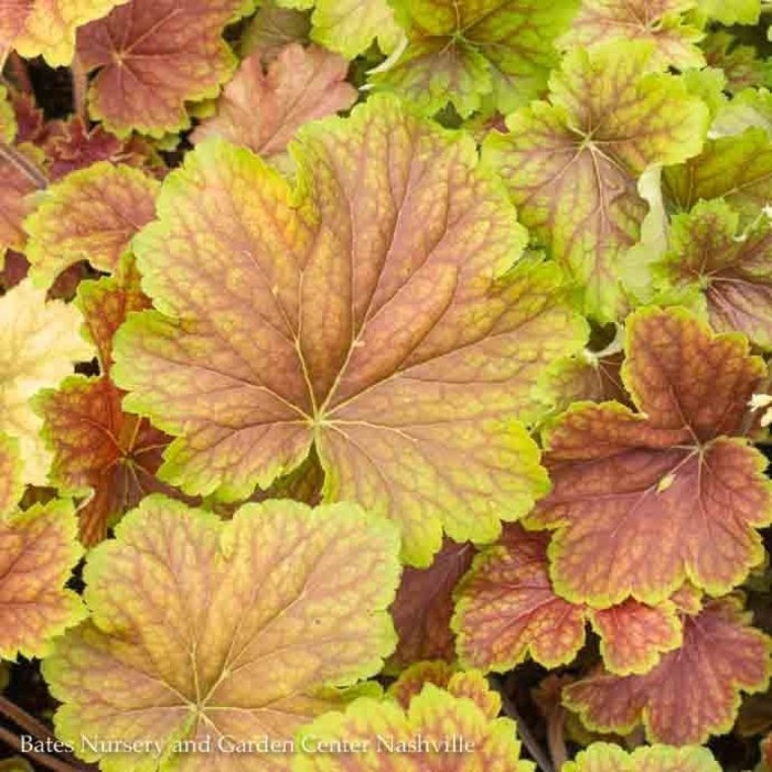 #2 Heuchera Delta Dawn/Coral Bells